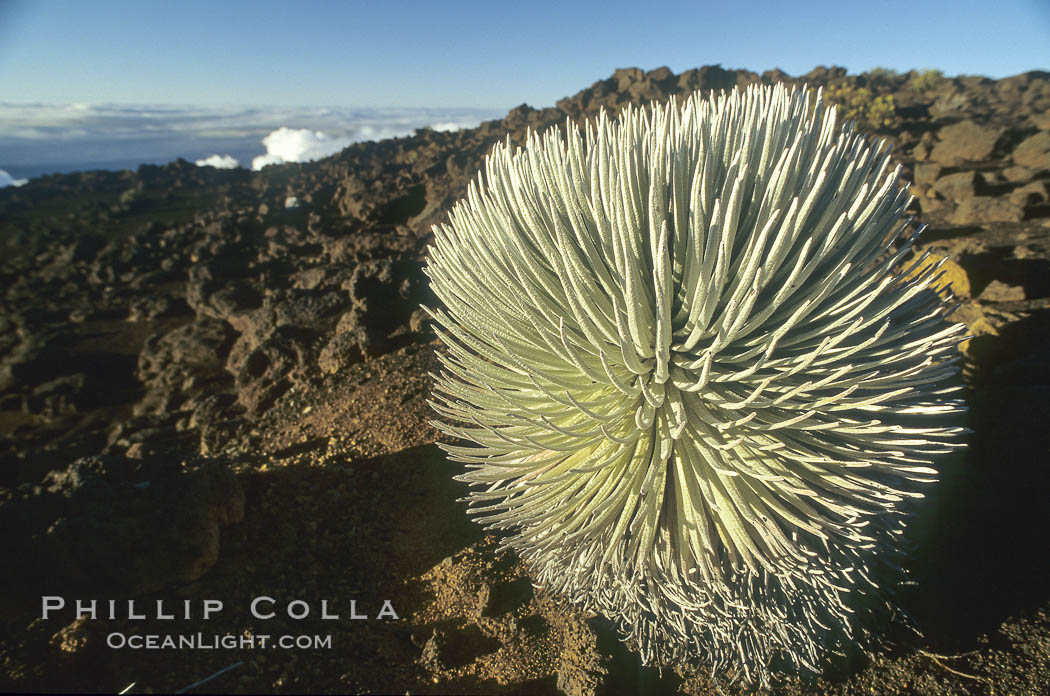 Haleakala silversword plant, endemic to the Haleakala volcano crater area above 6800 foot elevation., Argyroxiphium sandwicense macrocephalum,  Copyright Phillip Colla, image #18506, all rights reserved worldwide.