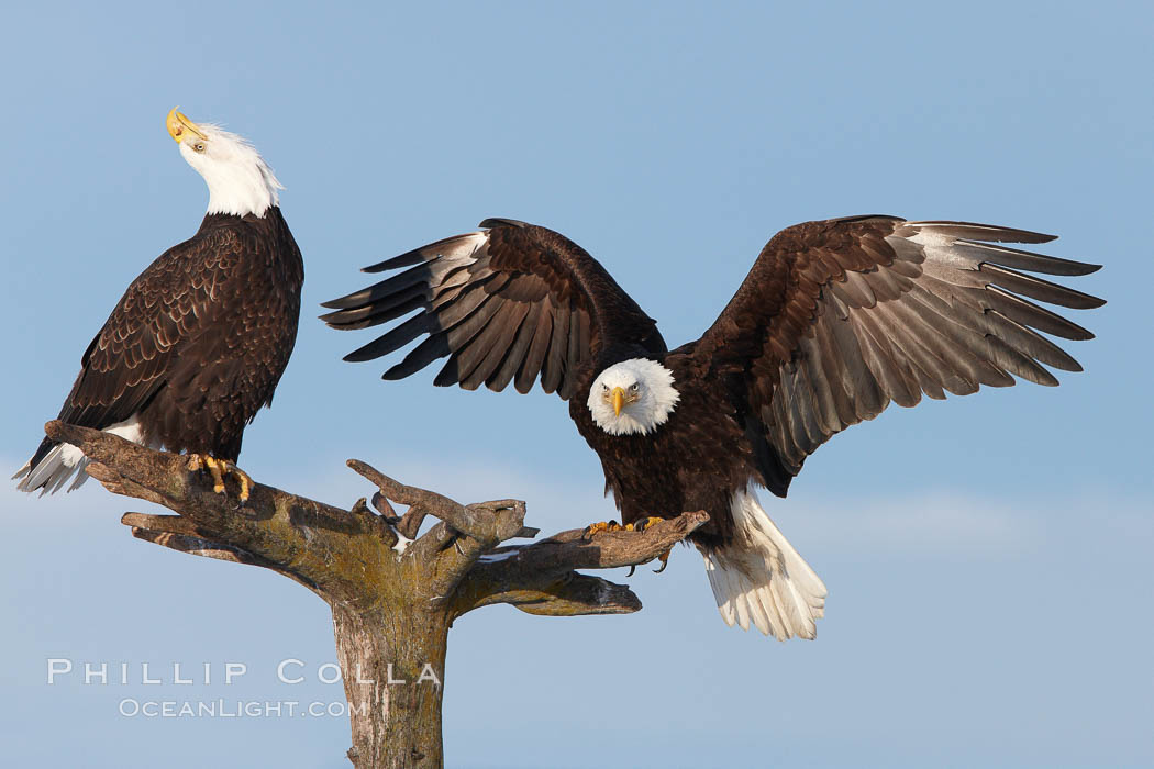 Two bald eagles on perch, one with wings spread as it has just landed and is adjusting its balance, the second with its head thrown back, calling vocalizing., Haliaeetus leucocephalus, Haliaeetus leucocephalus washingtoniensis,  Copyright Phillip Colla, image #22583, all rights reserved worldwide.