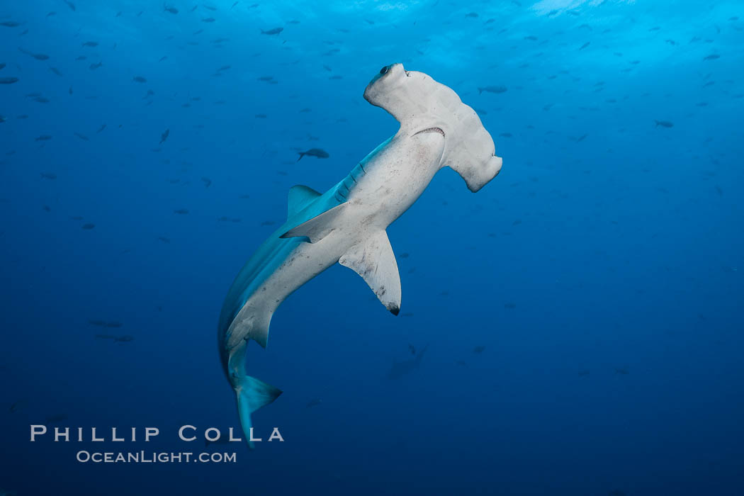 Scalloped hammerhead shark. Darwin Island, Galapagos Islands, Ecuador, Sphyrna lewini, natural history stock photograph, photo id 16266