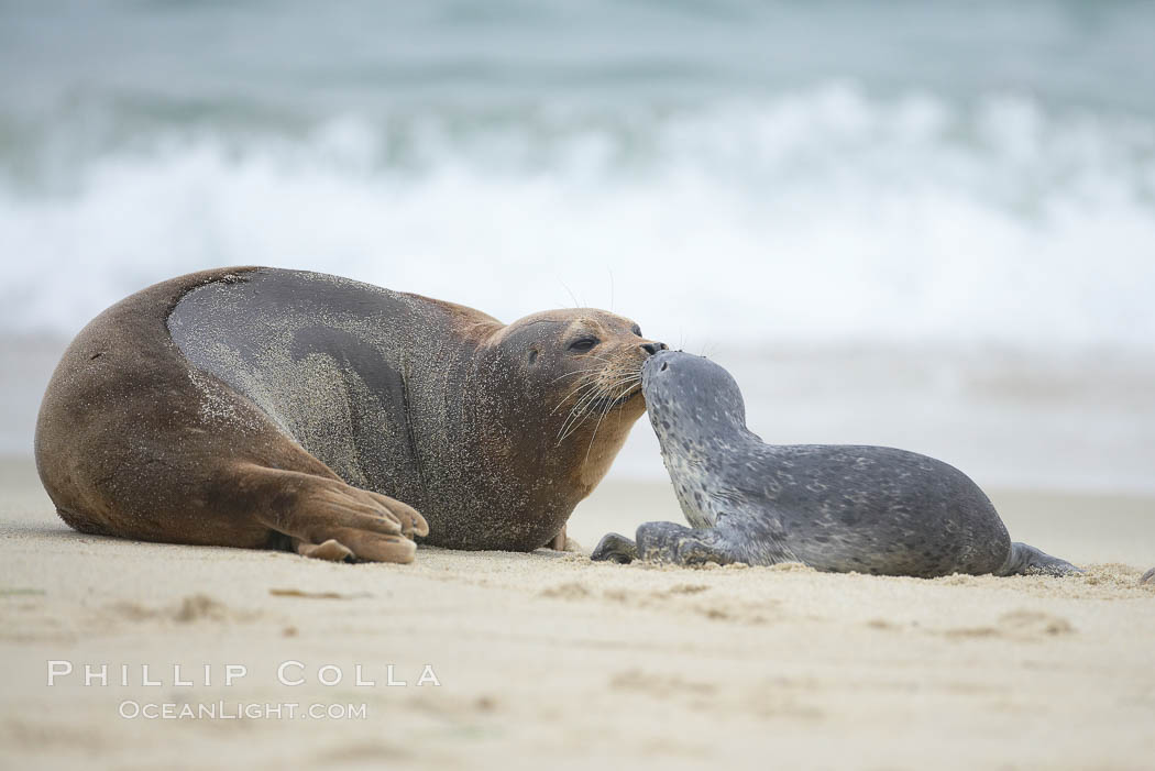 Pacific harbor seals, a tiny pup nuzzles an adult (not its mother), Phoca vitulina richardsi, La Jolla, California