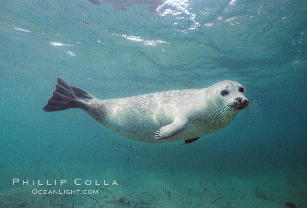 http://www.oceanlight.com/stock-photo/harbor-seal-underwater-phoca-vitulina-image-03018-761114.jpg