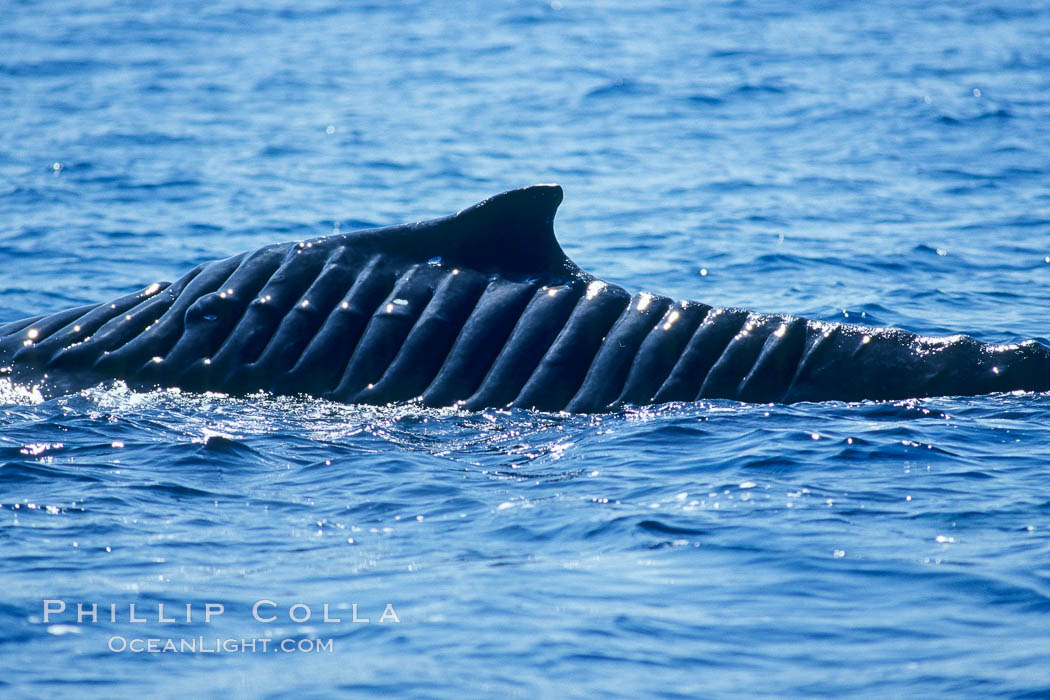 North Pacific humpback whale showing extensive scarring, almost certainly from a boat propeller, on dorsal ridge, Megaptera novaeangliae, Maui