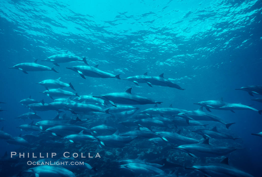 Hawaiian spinner dolphin. Lanai, USA, Stenella longirostris, natural history stock photograph, photo id 00106