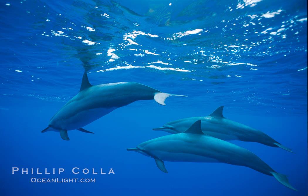 Hawaiian spinner dolphin. Lanai, Hawaii, USA, Stenella longirostris, natural history stock photograph, photo id 01161