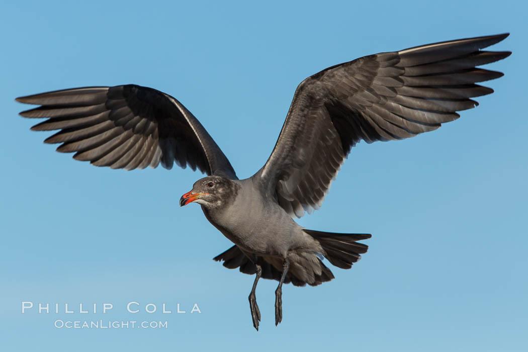 Heermann's gull, immature, in flight, Larus heermanni, La Jolla, California