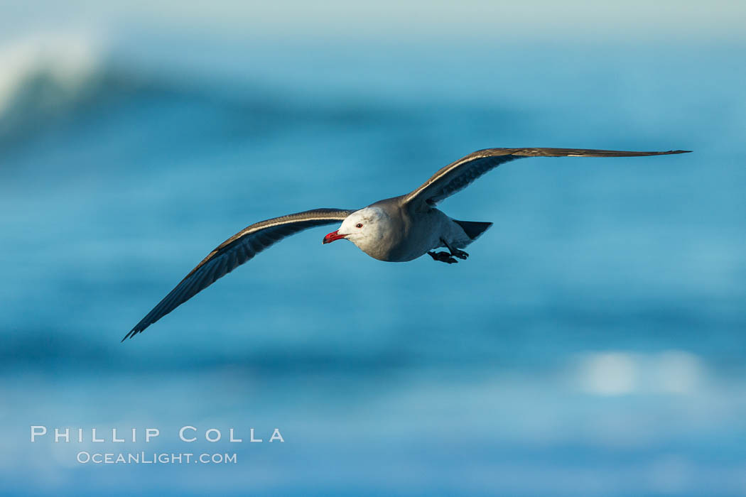 Heermanns gull in flight, Larus heermanni, La Jolla, California