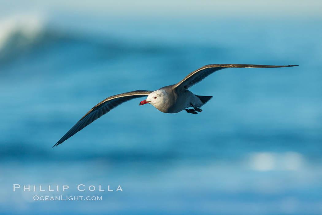 Heermanns gull in flight, Larus heermanni, La Jolla, California