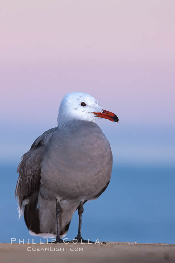 Heermanns gull, presunrise purple-pink glow in the distant sky, Larus heermanni, La Jolla, California