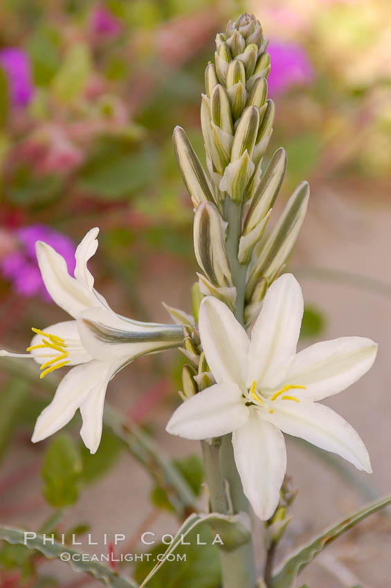 Desert Lily blooms in the sandy soils of the Colorado Desert.  It is fragrant and its flowers are similar to cultivated Easter lilies. Anza-Borrego Desert State Park, Anza Borrego, California, USA, Hesperocallis undulata, natural history stock photograph, photo id 10543