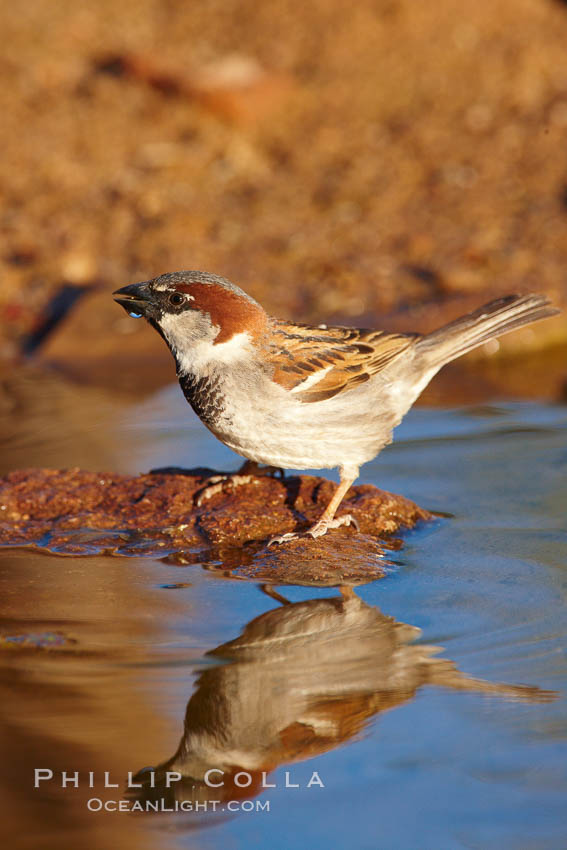 House sparrow, breeding male. Amado, Arizona, USA, Passer domesticus, natural history stock photograph, photo id 22903