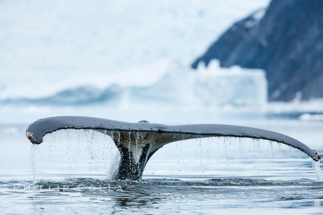 Humpback whale in Antarctica.  A humpback whale swims through the beautiful ice-filled waters of Neko Harbor, Antarctic Peninsula, Antarctica., Megaptera novaeangliae, natural history stock photograph, photo id 25670