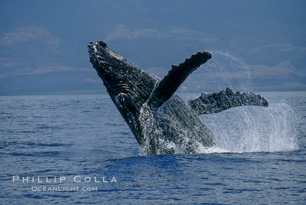 Humpback whale breaching with pectoral fins lifting spray from the ocean surface. Maui, Hawaii, USA, Megaptera novaeangliae, natural history stock photograph, photo id 03854