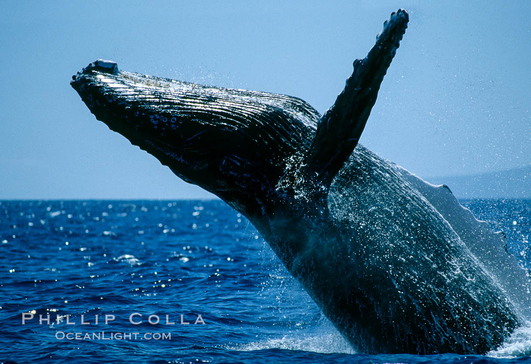 Humpback whale breaching. Maui, Hawaii, USA, Megaptera novaeangliae, natural history stock photograph, photo id 03870