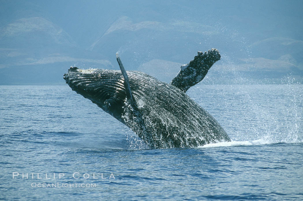 Humpback whale breaching. Maui, Hawaii, USA, Megaptera novaeangliae, natural history stock photograph, photo id 03855