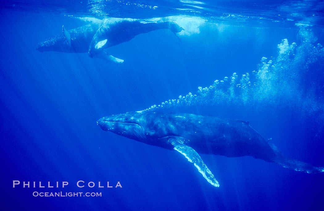 North Pacific humpback whale, male escort bubble streams alongside mother and calf, Megaptera novaeangliae, Maui