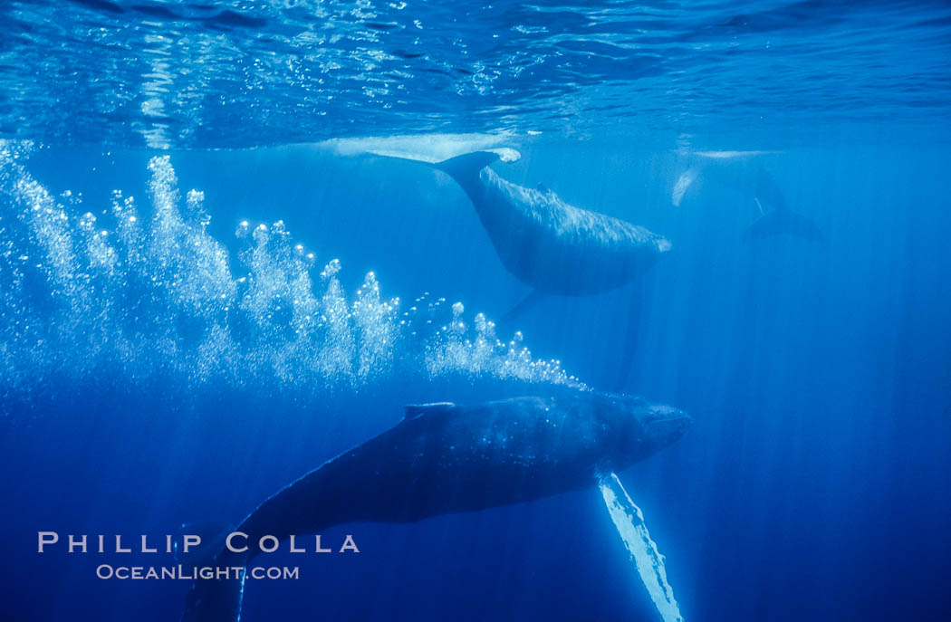 North Pacific humpback whale, primary escort bubble trails alongside female amid competitive group. Maui, Hawaii, USA, Megaptera novaeangliae, natural history stock photograph, photo id 06000