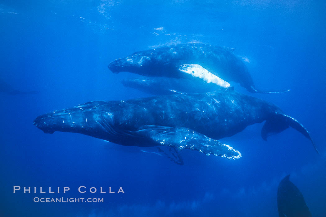 Humpback whale competitive group, several adult male escort whales swimming closely together as part of a larger competitive group. Maui, Hawaii, USA, Megaptera novaeangliae, natural history stock photograph, photo id 02862
