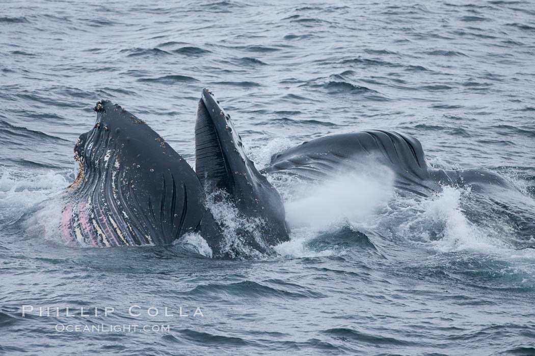 Humpback whale lunge feeding on Antarctic krill, with mouth open and baleen visible.  The humbpack&#39;s pink throat grooves are seen as its pleated throat becomes fully distended as the whale fills its mouth with krill and water.  The water will be pushed out, while the baleen strains and retains the small krill, Megaptera novaeangliae, Gerlache Strait