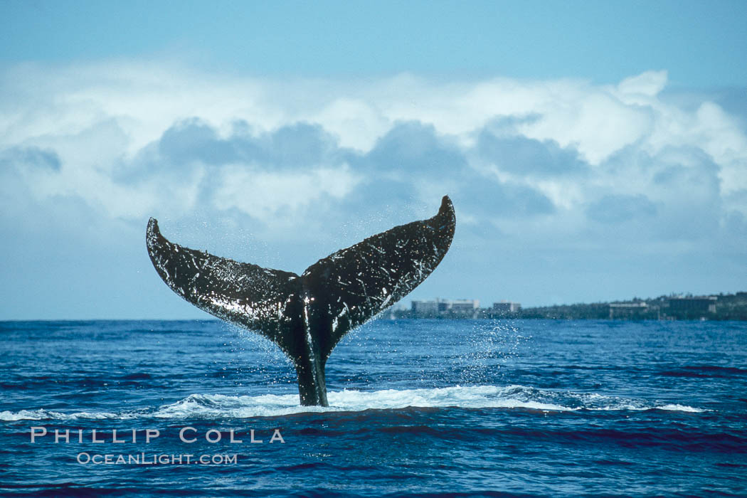 Humpback whale holding fluke (tail) aloft out of the water. Maui, Hawaii, USA, Megaptera novaeangliae, natural history stock photograph, photo id 00170