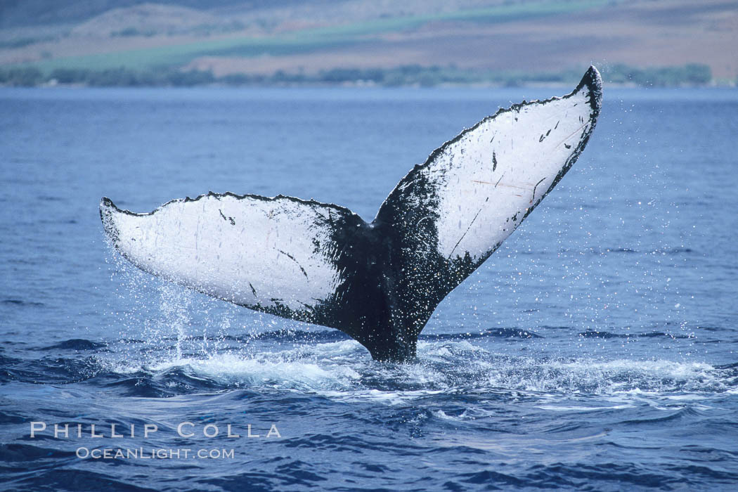 Humpback whale fluking up, ventral aspect of fluke visible, Megaptera novaeangliae, Maui