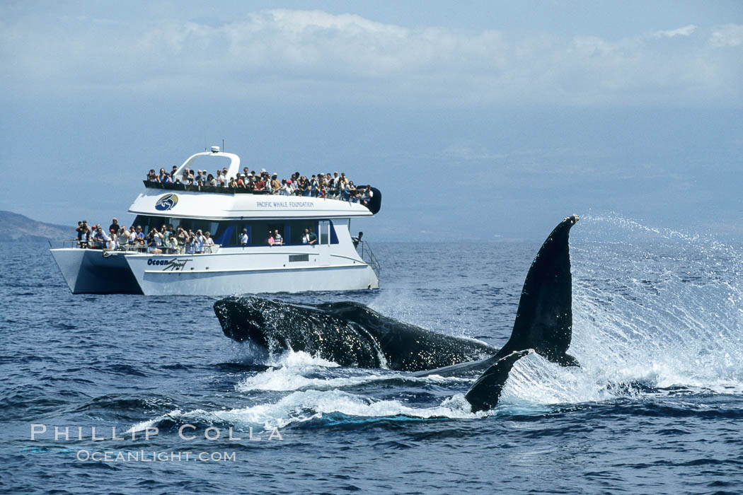 Humpback whale surface active group including head lunge and two fluke swipes, whale watching boat. Maui, Hawaii, USA, Megaptera novaeangliae, natural history stock photograph, photo id 04243