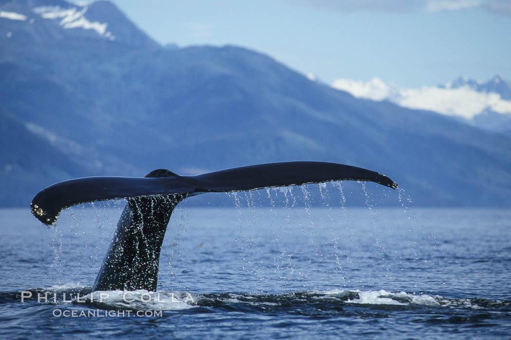 Humpback whale raising its fluke (tail) prior to a dive. Frederick Sound, Alaska, USA, Megaptera novaeangliae, natural history stock photograph, photo id 04217