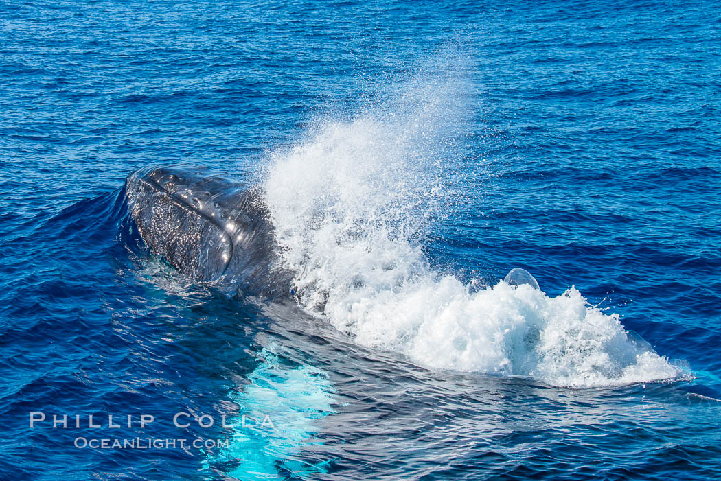Humpback whale head lunge and blow in active group. Maui, Hawaii, USA, natural history stock photograph, photo id 34537