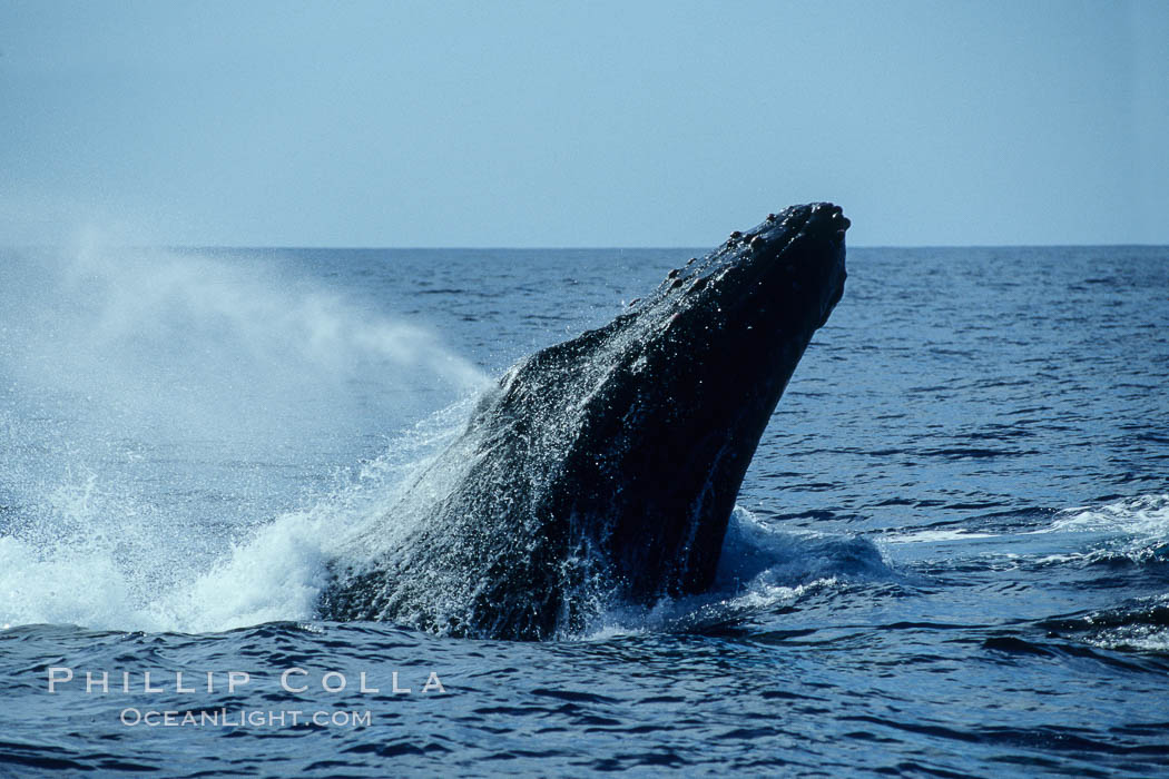 Humpback whale head lunging, rostrum extended out of the water, exhaling at the surface, exhibiting surface active social behaviours. Maui, Hawaii, USA, Megaptera novaeangliae, natural history stock photograph, photo id 04036
