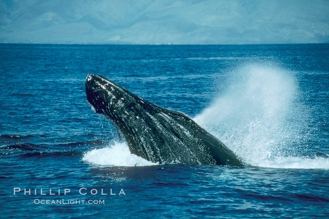 Humpback whale lunging out of the water at it reaches the surface, exhaling in a burst of bubbles, Megaptera novaeangliae, Maui