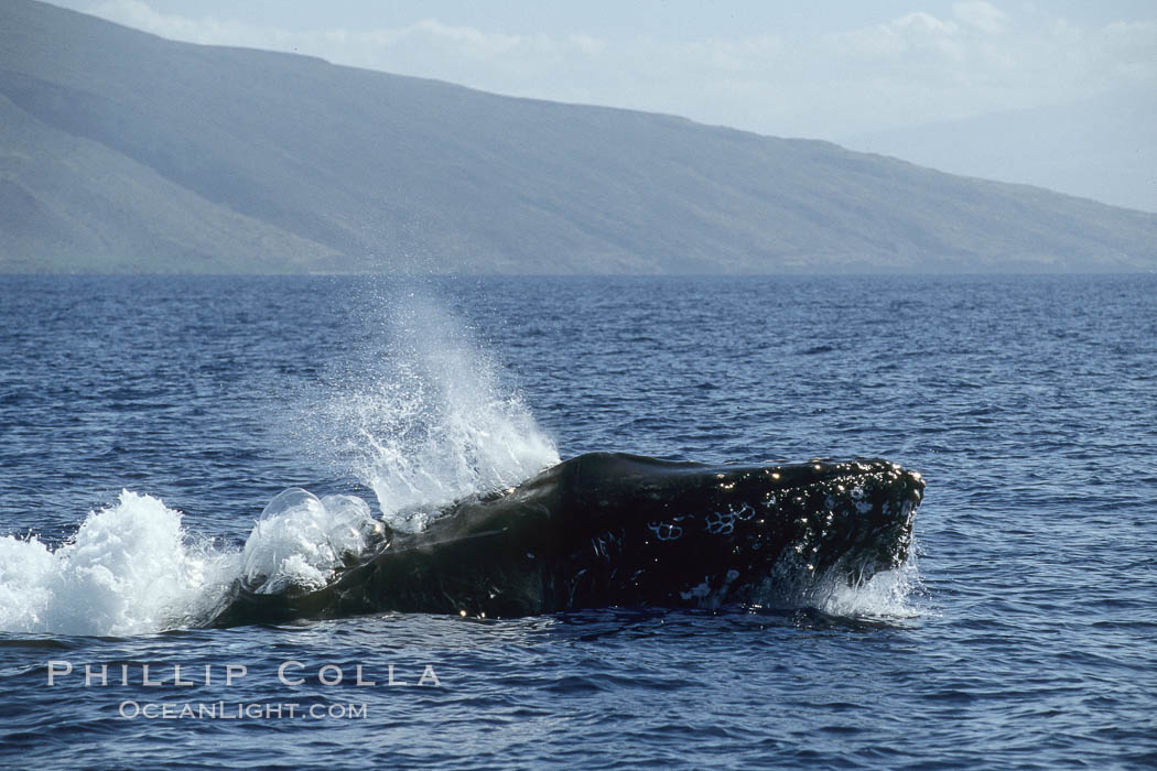 Humpback whale, head lunge in active group. Maui, Hawaii, USA, Megaptera novaeangliae, natural history stock photograph, photo id 04017