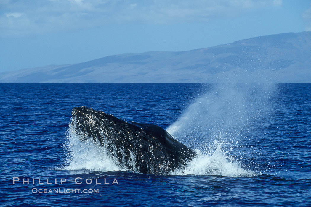 Humpback whale head lunging, rostrum extended out of the water, exhaling at the surface, exhibiting surface active social behaviours. Maui, Hawaii, USA, Megaptera novaeangliae, natural history stock photograph, photo id 04049