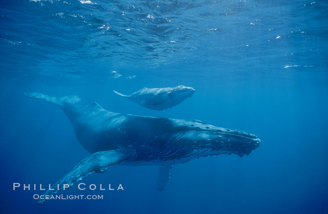 North Pacific humpback whales, a mother and calf pair swim closely together just under the surface of the ocean.  The calf will remain with its mother for about a year, migrating from Hawaii to Alaska to feed on herring, Megaptera novaeangliae, Maui