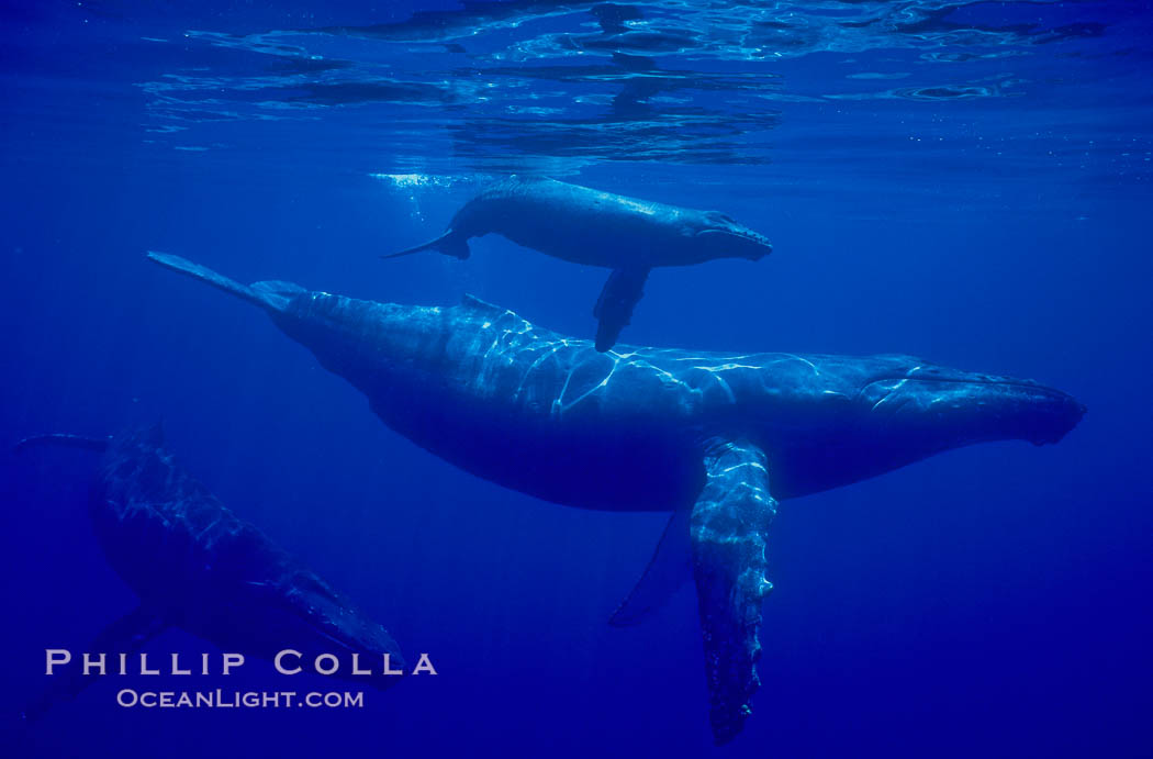 Humpback whale mother, calf (top), male escort (rear), underwater.  A young humpback calf typically swims alongside or above its mother, and male escorts will usually travel behind the mother. Maui, Hawaii, USA, Megaptera novaeangliae, natural history stock photograph, photo id 02819
