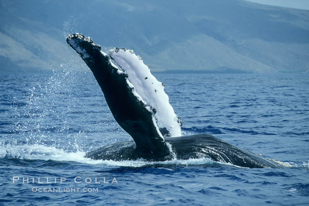 Humpback whale swimming inverted with both pectoral fin raised clear of the water. Maui, Hawaii, USA, Megaptera novaeangliae, natural history stock photograph, photo id 04116