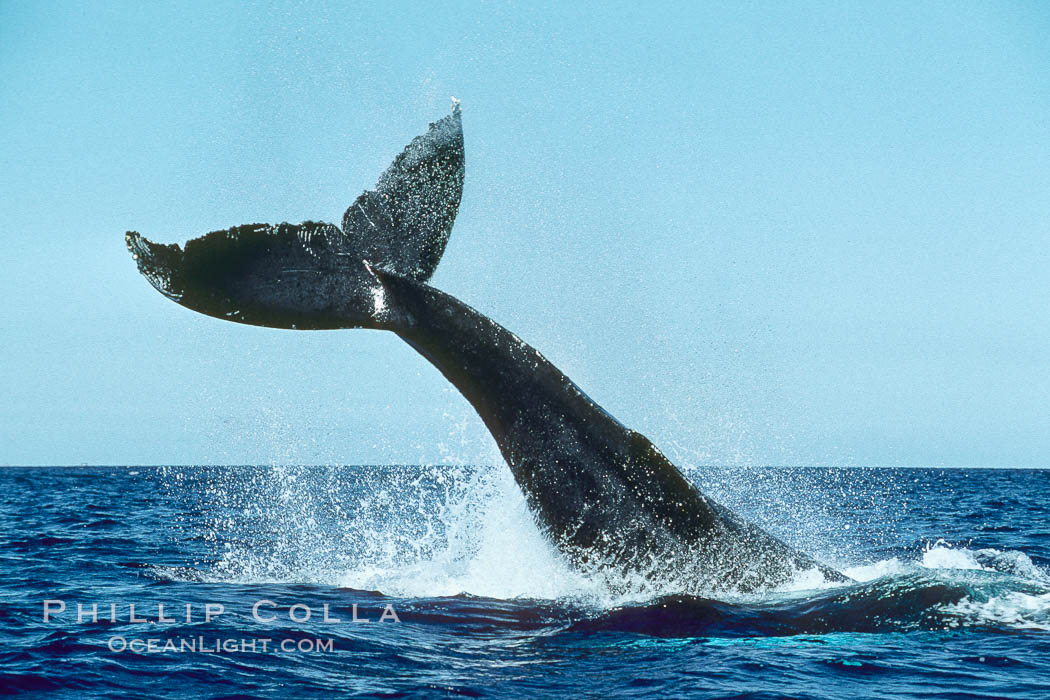 Humpback whale performing a peduncle throw at the surface, swinging its fluke (tail) sideways and flinging water all over. Maui, Hawaii, USA, Megaptera novaeangliae, natural history stock photograph, photo id 00451