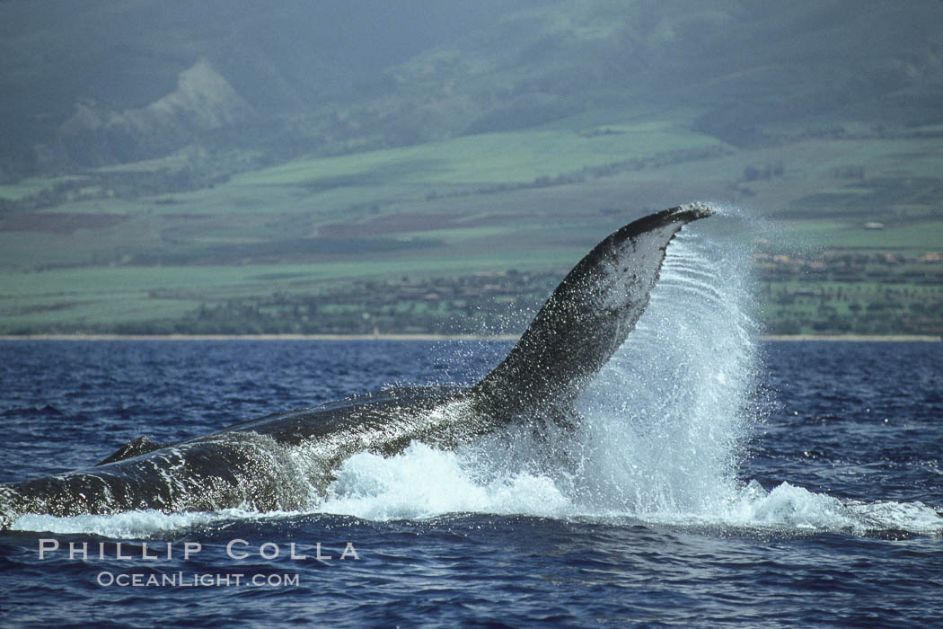 Humpback whale performing a peduncle throw at the surface, swinging its fluke (tail) sideways and flinging water all over. Maui, Hawaii, USA, Megaptera novaeangliae, natural history stock photograph, photo id 00181