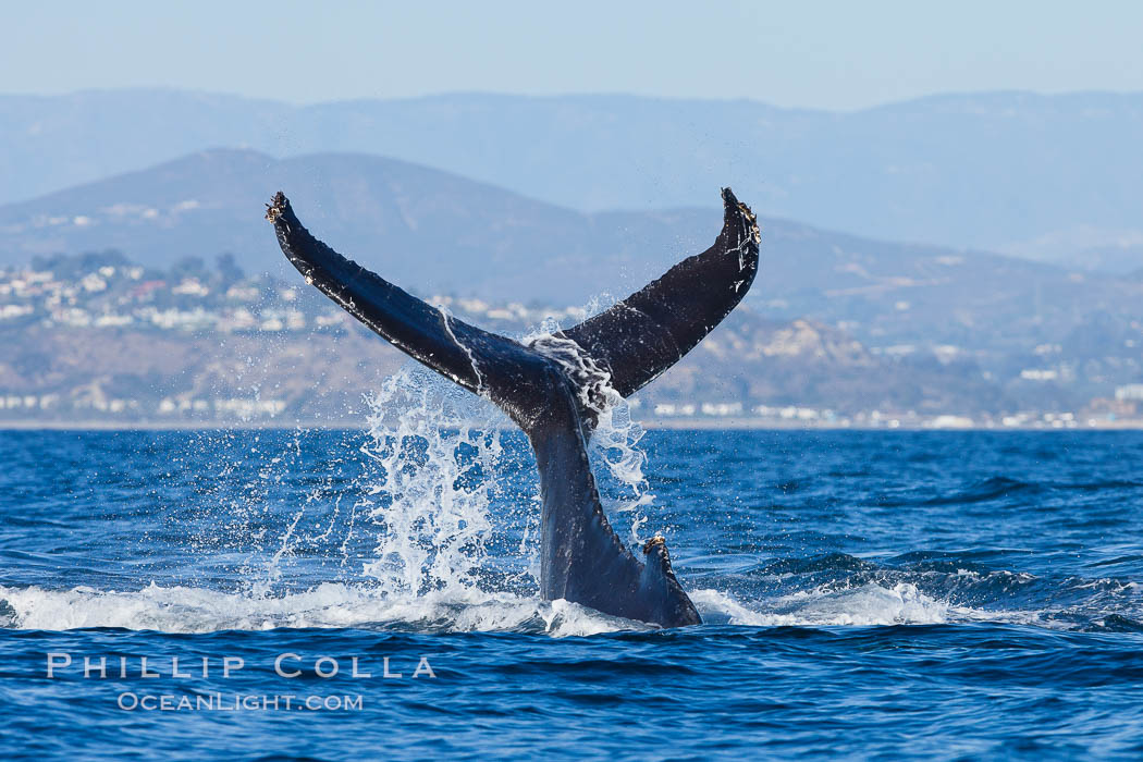 A humpback whale raises it fluke out of the water, the coast of Del Mar and La Jolla is visible in the distance, Megaptera novaeangliae