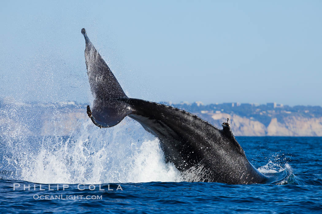 A humpback whale raises it fluke out of the water, the coast of Del Mar and La Jolla is visible in the distance. Del Mar, California, USA, Megaptera novaeangliae, natural history stock photograph, photo id 27142