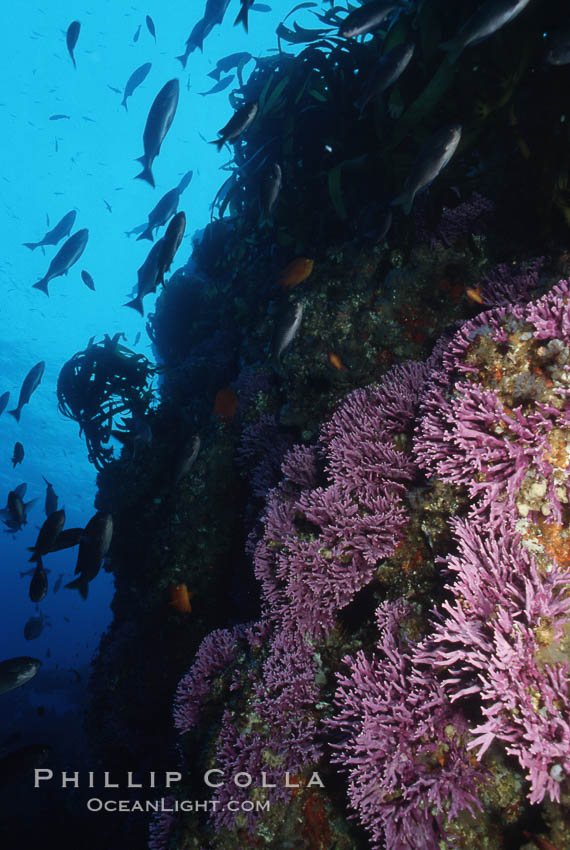 Hydrocoral on rocky reef. San Clemente Island, California, USA, Stylaster californicus, Allopora californica, natural history stock photograph, photo id 05290
