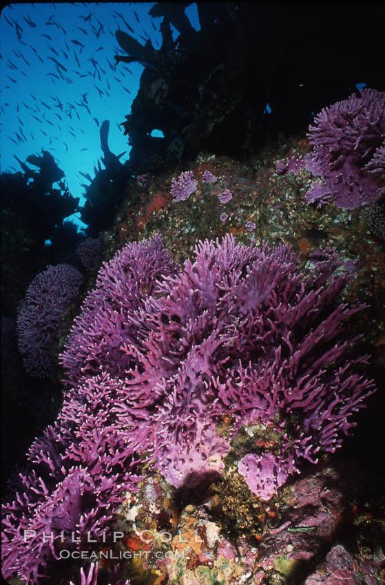 Pacific torpedo ray, Farnsworth Banks, Catalina, Torpedo californica. Catalina Island, California, USA, Allopora californica, natural history stock photograph, photo id 04712