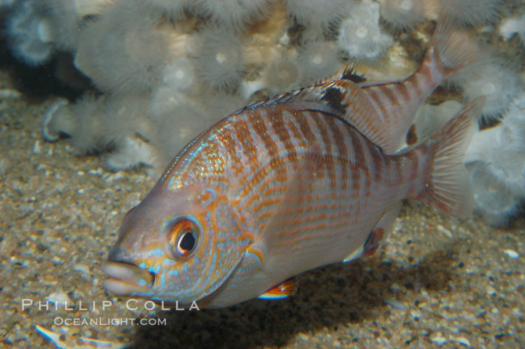 Rainbow surfperch., Hypsurus caryi, natural history stock photograph, photo id 09007