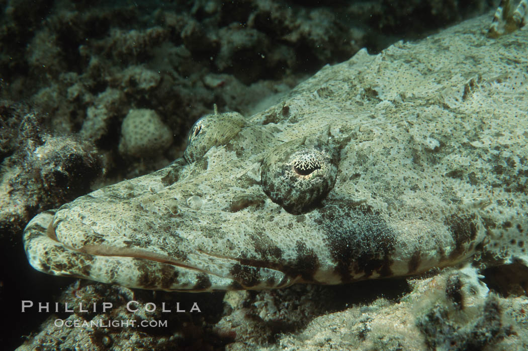 Indian Ocean Crocodile Fish Photo, Stock Photograph of an ...