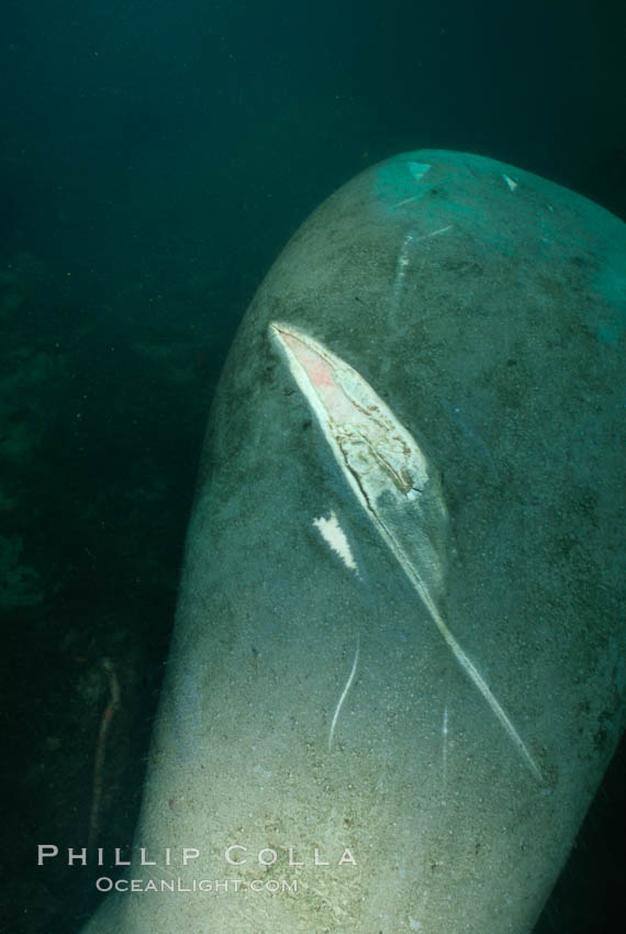 West Indian manatee with scarring/wound from boat propellor., Trichechus manatus,  Copyright Phillip Colla, image #03308, all rights reserved worldwide.