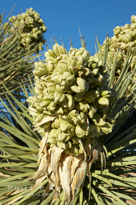 Fruit cluster blooms on a Joshua tree in spring. Joshua Tree National Park, California, USA, Yucca brevifolia, natural history stock photograph, photo id 11990
