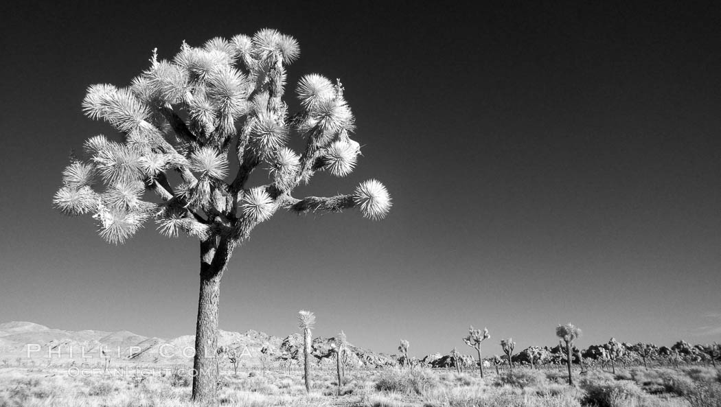 Joshua tree, sunrise, infrared. Joshua Tree National Park, California, USA, Yucca brevifolia, natural history stock photograph, photo id 22890