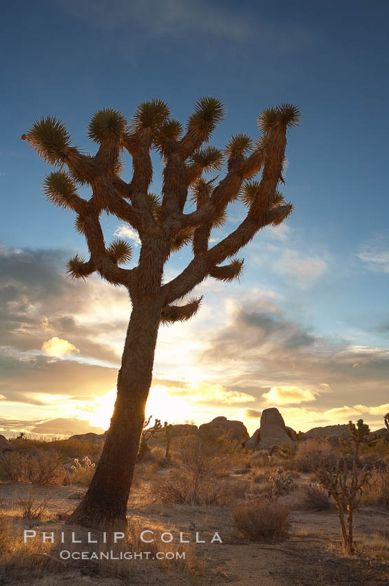 Joshua tree at sunrise.  Joshua trees are found in the Mojave desert region of Joshua Tree National Park., Yucca brevifolia,  Copyright Phillip Colla, image #20140, all rights reserved worldwide.