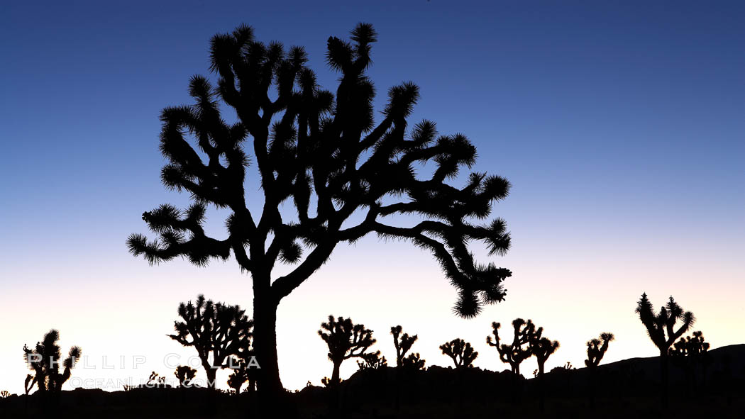 Joshua trees silhouetted against predawn sunrise light. Joshua Tree National Park, Joshua Tree National Park, California, USA, Yucca brevifolia, natural history stock photograph, photo id 22105
