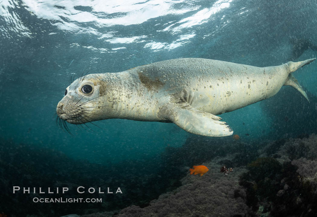 Juvenile Northern Elephant Seal Underwater, Coronado Islands, Mexico. Coronado Islands (Islas Coronado), Baja California, Mirounga angustirostris, natural history stock photograph, photo id 36465