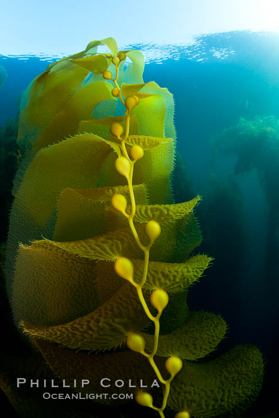 Kelp fronds and pneumatocysts.  Pneumatocysts, gas-filled bladders, float the kelp plant off the ocean bottom toward the surface and sunlight, where the leaf-like blades and stipes of the kelp plant grow fastest.  Giant kelp can grow up to 2' in a single day given optimal conditions.  Epic submarine forests of kelp grow throughout California's Southern Channel Islands. San Clemente Island, California, USA, Macrocystis pyrifera, natural history stock photograph, photo id 25399
