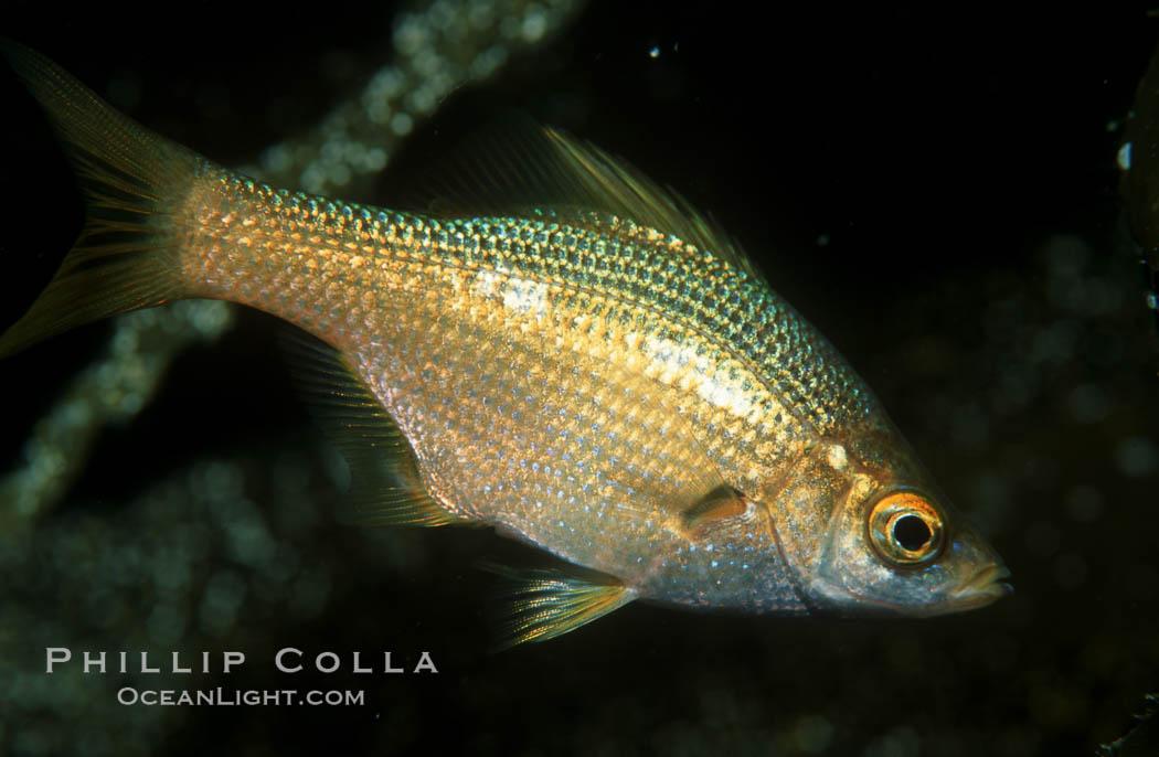 Photo Scanner: Kelp Perch